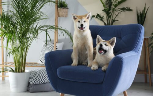 Cute Akita Inu dogs on armchair in room with houseplants